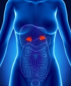 adrenal-glands_iStock_000016809102XSmall