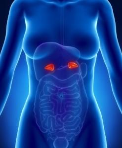 adrenal-glands_iStock_000016809102XSmall